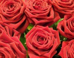 Roses d'équateur